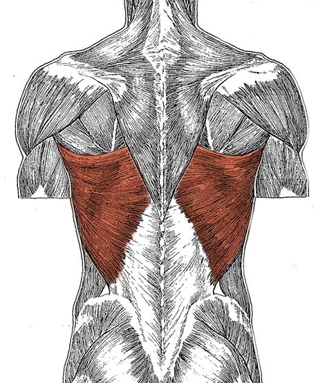 Мышцы спины анатомия картинки упражнения